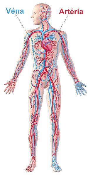 koleszterin - véna, artéria